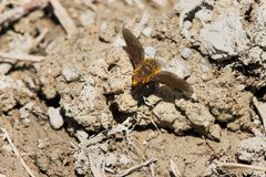 Bee Fly Species. Bee Fly is resting on a muddy path collecting salts and minerals. Carden Alvar Provincial Park, Kawartha Lakes, Ontario, Canada Royalty Free Stock Photo