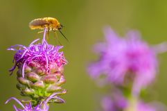 Bee fly standing / perched on purple blazing star in the grasslands of the Crex Meadows Wildlife Area in Northern Wisconsin royalty free stock photo