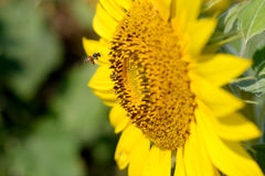 Bee fly at sunflower Royalty Free Stock Photography