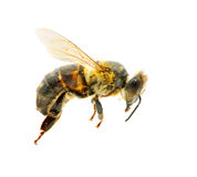 Bee in flying Stock Photo