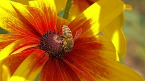 Bee flying away from yellow flower. Super slow motion macro video shot at 250 fps stock footage