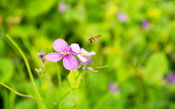 A bee is flying in bright purple flowers above. Warm breath of spring, a hardworking bee is flying purple flowers in bloom, ready honey, filled with many green Stock Photos