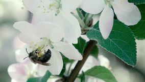 Slow motion footage. Bee flying collecting pollen from flowers stock footage