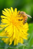 Bee flying on dandelion flowers Stock Photo