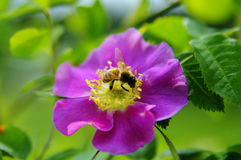 Bee flying Stock Photography