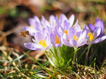 Bee flying by at flowers in early spring Royalty Free Stock Image