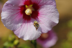 Bee flying in front of a flower Stock Photography