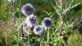 Bee flying and landing on a thistle stock video