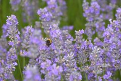 Bee flying in Lavender Stock Image