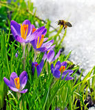 Bee flying near first spring flowers Stock Image