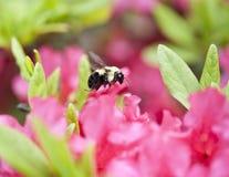 Bee flying near a pink azalia bush Royalty Free Stock Photography