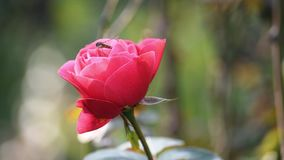 Bee flying near a rose stock video