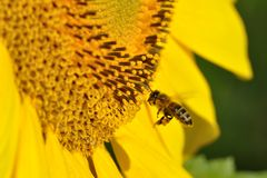 A bee flying near a sunflower. A bee is flying near a yellow sunflower in search for pollen Stock Photo