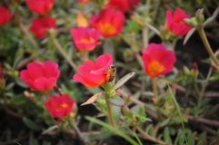 Bee flying next to red portulaca flowers royalty free stock images