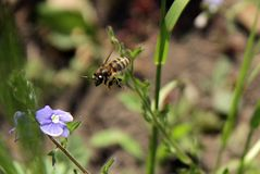 A bee flying over a blue flowers Stock Photography