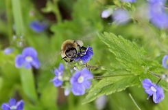 A bee flying over a blue flowers Royalty Free Stock Image