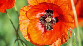 Bee Flying and Pollinating Poppy Flower. stock video