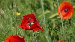Bee Flying and Pollinating Poppy Flower. Bee Flying and Pollinating Poppy Flower at Sunny Day. Slow Motion stock video footage