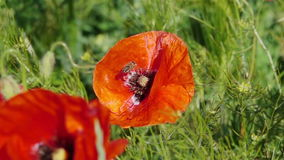 Bee Flying and Pollinating Poppy Flower. stock footage