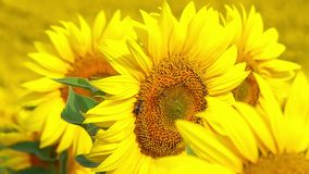 Bee Flying and Pollinating Sunflower. At Sunny Day. Slow Motion stock video