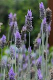 A bee flying between some lavenders. This photograph was taken in Gramado, Rio Grande do Sul, Brazil. December 25, 2016 Stock Photography
