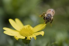 A bee flying and spreads flower`s stamens stock photo