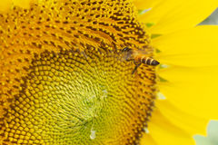 Bee flying on a sunflower Royalty Free Stock Photo