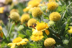 Bee flying. Swarm  flower for carpel Royalty Free Stock Photography