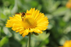 Bee. Flying swarm flower for find Nectar Royalty Free Stock Image