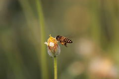 Bee. Flying swarm and suck pollen grass flowers Royalty Free Stock Photos