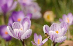 Bee flying to crosuses. Closeup of a bee flying to purple crocuses and holding nectar Royalty Free Stock Photos
