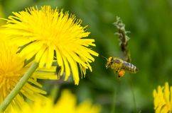 Bee flying to dandelion flower Royalty Free Stock Photography
