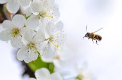 Bee flying to flower Stock Image