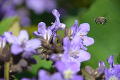 Bee flying to a flower stock image