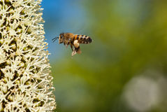 Bee flying to grass tree flowers. Bee on grass tree flowers, Xanthorrhoea, fully laden with pollen on its legs with copy space Stock Photos