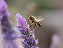Bee flying to lavender flower stock photography