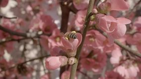 Bee flying to a peach flower and collecting pollen in slow-motion stock video