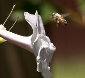 Bee Flying to Pink Flower Stock Image