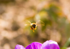 Bee flying to a purple crocus flower Stock Photo