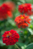 Bee flying to red flower. Bee flying to red tagetes flower royalty free stock images