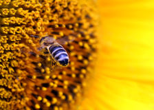 Bee flying to sunflower. Close up of bee flying to sunflower Royalty Free Stock Photos