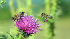 Bee flying to wild flower Royalty Free Stock Photo