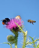 Bee flying to wild flower Stock Photo