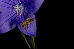Bee flying to you from flower Royalty Free Stock Photo