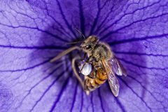 Bee flying to you from flower Royalty Free Stock Image