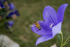Bee flying to you from flower Stock Images