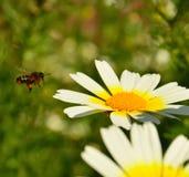 Bee flying toward splendid daisy flower. Apis mellifera and wild daisy Stock Photography
