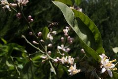 Bee flying. Towards the azar flowers to collect pollen and make honey Royalty Free Stock Image