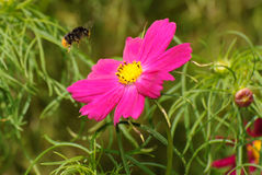 Bee flying towards a flower Royalty Free Stock Photos