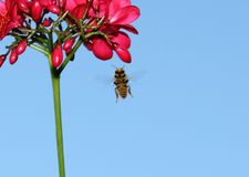 Bee flying towards flower. A close up of a honeybee flying towards a red flower on a blue sky background royalty free stock photos